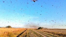【蝗害】4千万匹のバッタ、アルゼンチンを南下…1日で3万5千人分の食料に相当する農作物を食い荒らす