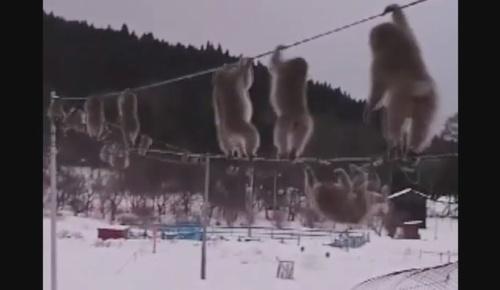電線を次々と渡る青森のサルの群れの映像が海外でも話題に