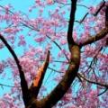桜見2014・弐片