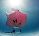 世界で唯一の「ピンク・マンタ」が撮影される 遺伝子変異が原因か?
