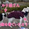 北軽井沢で迷子になっているボルゾイを探しています!
