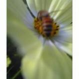 『ハチとコスモス』の画像