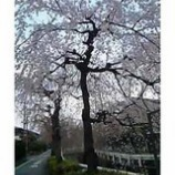 『満開の枝垂れ桜』の画像