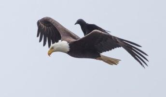 【画像あり】横着者…カラスが自分で飛ばずにワシの背中に乗って飛ぶ