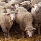 『ついに出た伝説の羊シュレックを超えた羊クリス』の画像