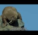 崖から落ちるアザラシ 集団自殺か?!【動画】