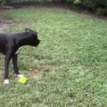 うちのイヌと庭で遊んでみた。2個のボールを投げてみる → 犬はこうなった…