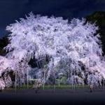 27年間続けらてきた夜桜ライトアップが観光客のマナー違反等で中止に…