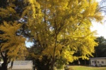 植物園の『大銀杏』がイイ感じに色づいてきてる!~12月中旬が見頃かも~