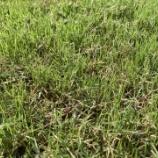 『先週撒いた冬芝が芽を出しました👏(9/27)』の画像