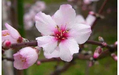 『アーモンドの花の幻、願いの先駆けと実現させる神様。NO1』の画像