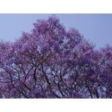 『紫いろのじゅうたんのように。』の画像