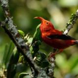 『消えゆくハワイの鳥』の画像