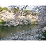 『桜の便り』の画像