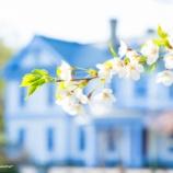 『白い桜White cherry blossoms.』の画像