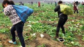 「大根あげます」に1万人が殺到 近くの畑からイモや野菜も略奪される…中国