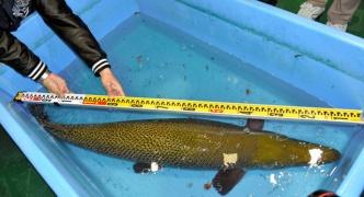 【名古屋城外掘】アリゲーターガーを冷凍保存 調査へ 捕獲の際に釣り針をのみ込んで衰弱