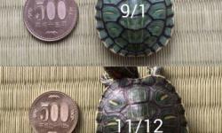 【画像あり】2ヶ月間ミドリガメ育てた結果wwwwwwww