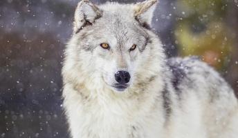 オオカミを放った国立公園で、20年後に「すごいこと」が起こったーアメリカー