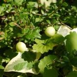 『暑さに負けず、すくすく成長しています! 収穫まであとわずか!!』の画像