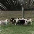 子イヌたちが長い棒で遊んでいた。運動会のアノ競技かな? → 子犬たちはこうなります… 【台風の目】