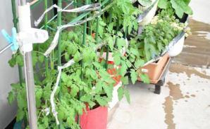 年々、進化しているベランダ菜園