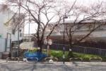 交野の桜を訪ねてみた⑤~ラッキー、駐車場タイムズの前~