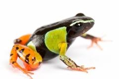 マダガスカルの有毒カエル、皮膚から胆汁酸と糖を分泌 カエルをなめる研究者が発見