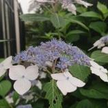 『紫陽花咲く』の画像