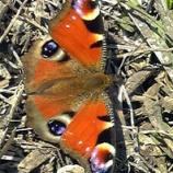 『3月26日 我が家の庭にクジャクチョウ(孔雀蝶)飛来』の画像