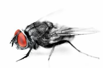 一瞬でもハエがとまった食品は絶対に食べてはいけない!?ハエは想像以上に汚かったことが最新の研究で判明