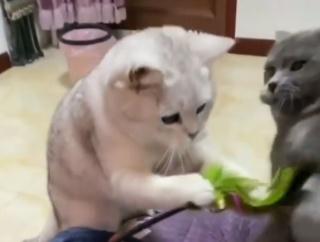 ワザとじゃニャイ!猫じゃらしを追っていた猫に訪れた衝撃の悲劇