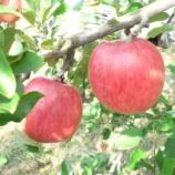 『佐渡はリンゴの名産地!?』の画像