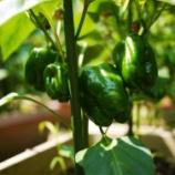 『初!!収穫~』の画像
