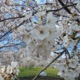 『園内の桜🌸満開です』の画像