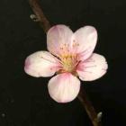 『信仰的な自己卑下と自己否定の中。私たちが弱い時に咲く アーモンドの花が咲く。NO2』の画像