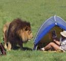 南アフリカで1万2000頭のライオンが、観光客の射撃目的で飼育 野生のライオンの約4倍 潜入捜査のイギリス人が衝撃告白