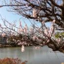 じゅん菜池緑地の桜