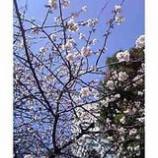 『さくら五分咲き』の画像