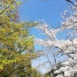 『桜がひらひらしてます。』の画像