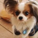 Go ! GO ! CHIRO~ビーグル犬・CHIROの日常~