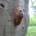 『夏の昆虫シリーズ セミ(幼虫)』の画像