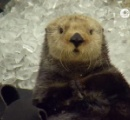 【動画】貝と氷を間違えて食べてしまったラッコの表情がたまらない