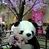 『パンダ』の画像