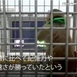 【動画】中国の研究チームがついに「猿の惑星」を現実に…!? 猿に人間の遺伝子を移植 [海外]