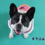 『フレブルちゃん大歓迎 射水店看板犬は巨大フレンチブルドッグ』の画像