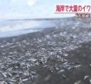 北海道で約4kmにわたり大量のイワシ打ち上げられる→その後、震度4の地震