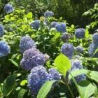 『紫陽花の季節ですね。』の画像