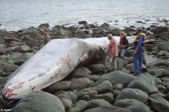超でかいシロナガスクジラが打ち上げられて死亡