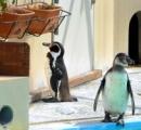 「ぼっち」ペンギン人気に
